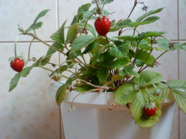 Ответы@Mail.Ru: Кто выращивал землянику на подоконнике? сложно ли?