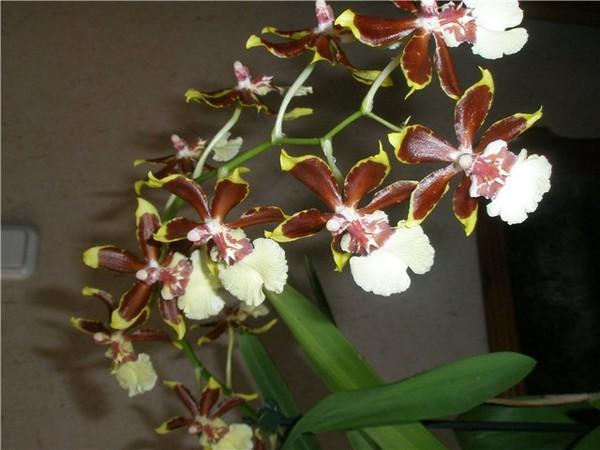 Орхидеи камбрия в домашних условиях - Urbiznes.ru