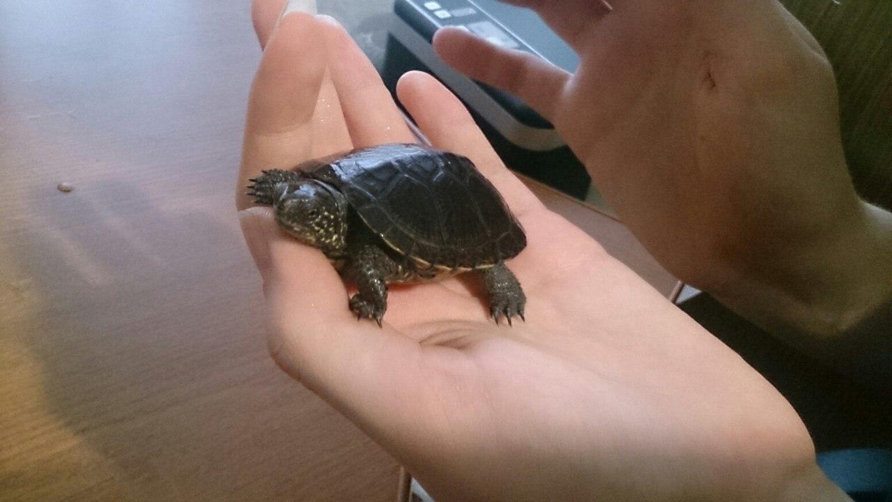 Речная черепаха в домашних условиях 176