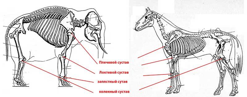 Elephant muscle anatomy