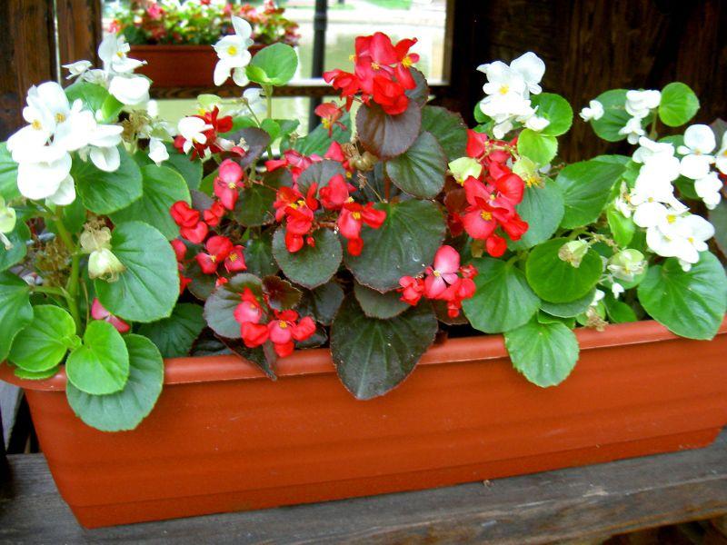 Цветы бегонии посадка и уход в домашних