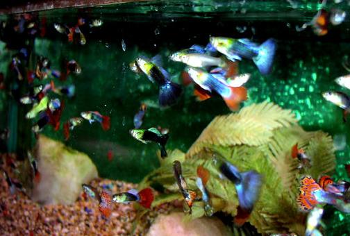 Сколько кормить рыбок в аквариуме гуппи