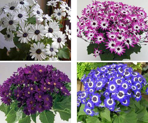 Комнатные цветы цинерария фото