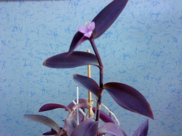 Сиреневый цветок комнатный