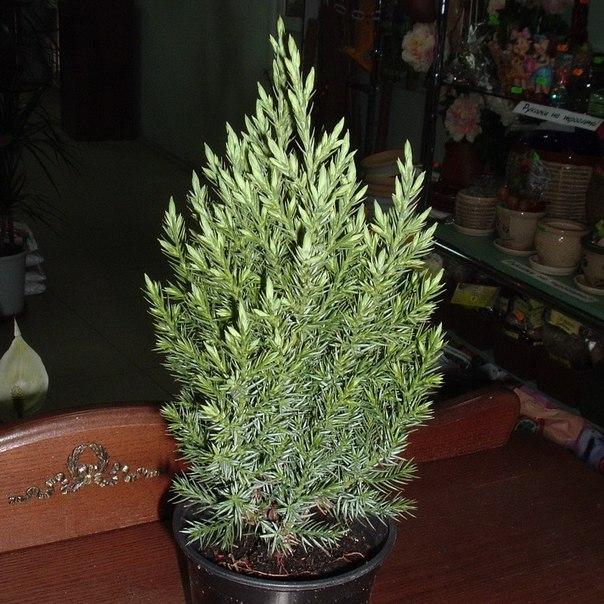 можжевельник комнатное растение фото