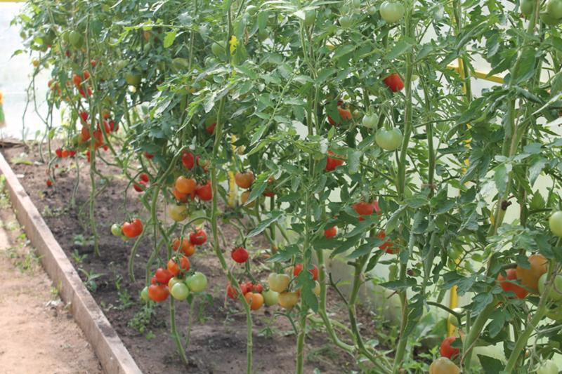 С чем не сажают помидоры 389