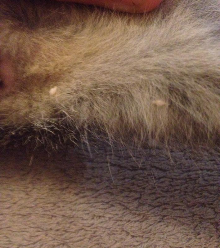 Как народными средствами вывести глисты у кота в домашних условиях
