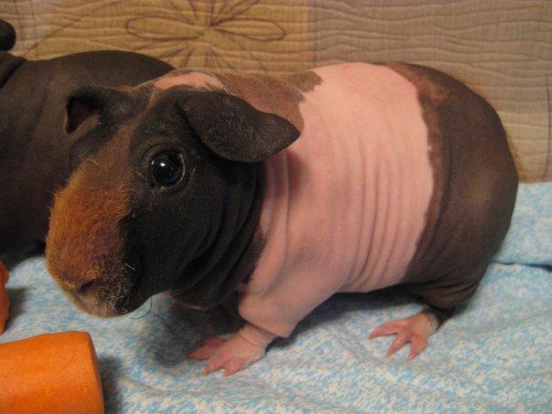 Сколько живут свинки в домашних условиях 124