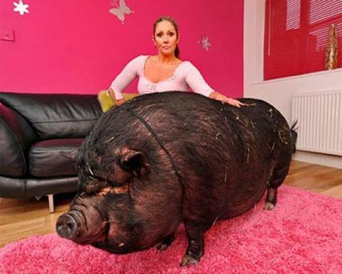 Сколько живут свинки в домашних условиях 198