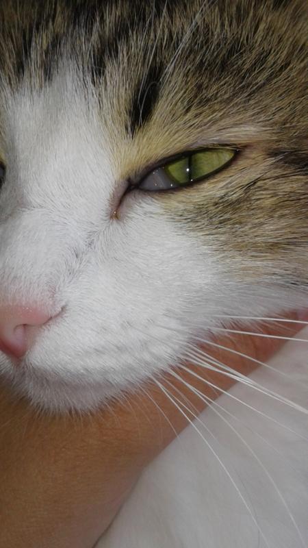 Кошке 10 лет, сиамская