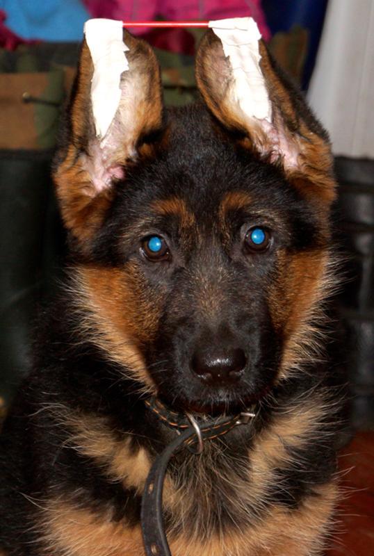 Почему у щенка немецкой овчарки не стоят уши