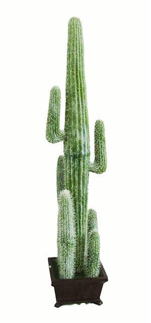 высокие домашние кактусы фото