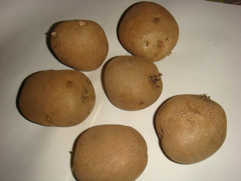 Выращивание элитного картофеля 95