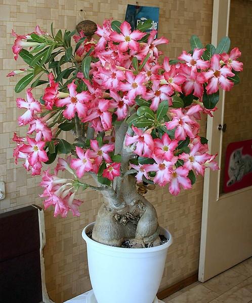 Адениум в домашних условиях не цветет
