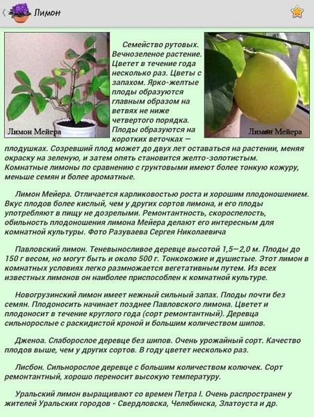 Уход за лимоном в домашних условиях выращенного из косточки