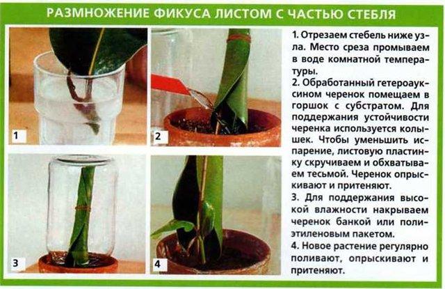 Как размножается фикус в домашних условиях пошагово