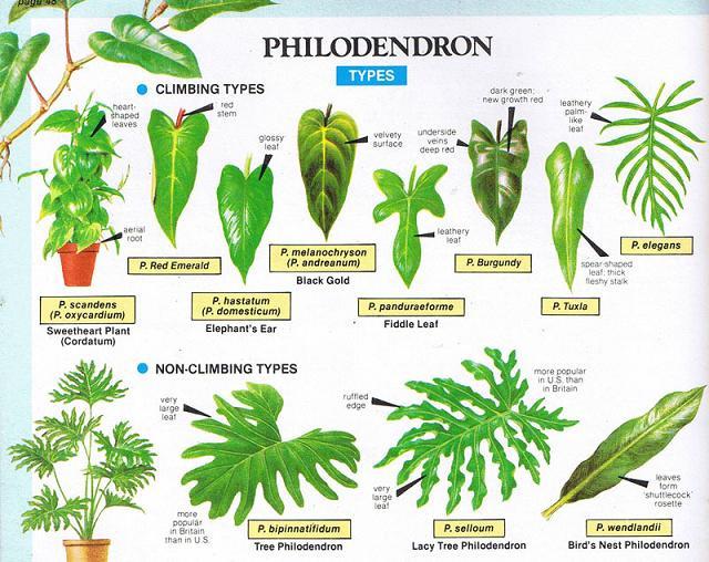 Уход и виды филодендрона