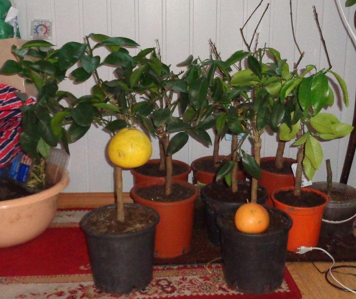 Косточки грейпфрута в домашних условиях