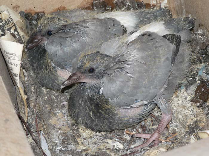 если голубь бросил птенцов как заботиться певицы время церемонии