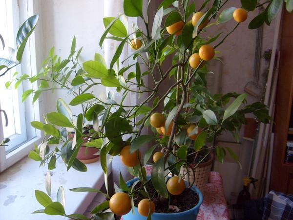 Как ухаживать за мандариновым деревом в домашних условиях