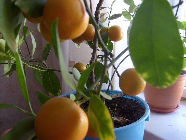 Как посадить апельсина из косточки в домашних условиях