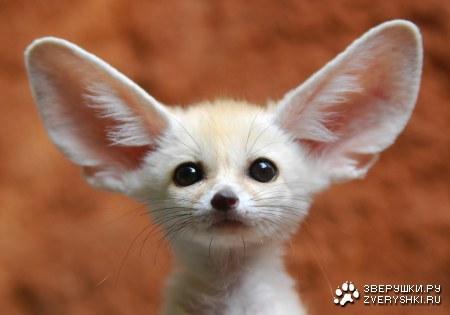 Ответы@Mail.Ru: У кого самые самые большие уши??