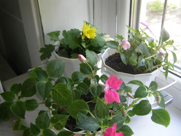 Бальзамин выращивание из семян и уход в домашних условиях
