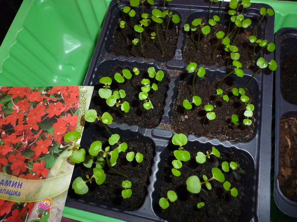 Гиацинт когда сажать семена 872