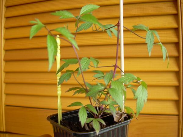 Клематисы выращивание из семян в домашних условиях