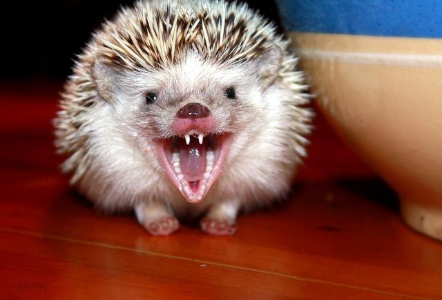 Сколько зубов у ёжиков