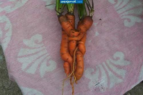 в попе морковка фото № 48411 без смс