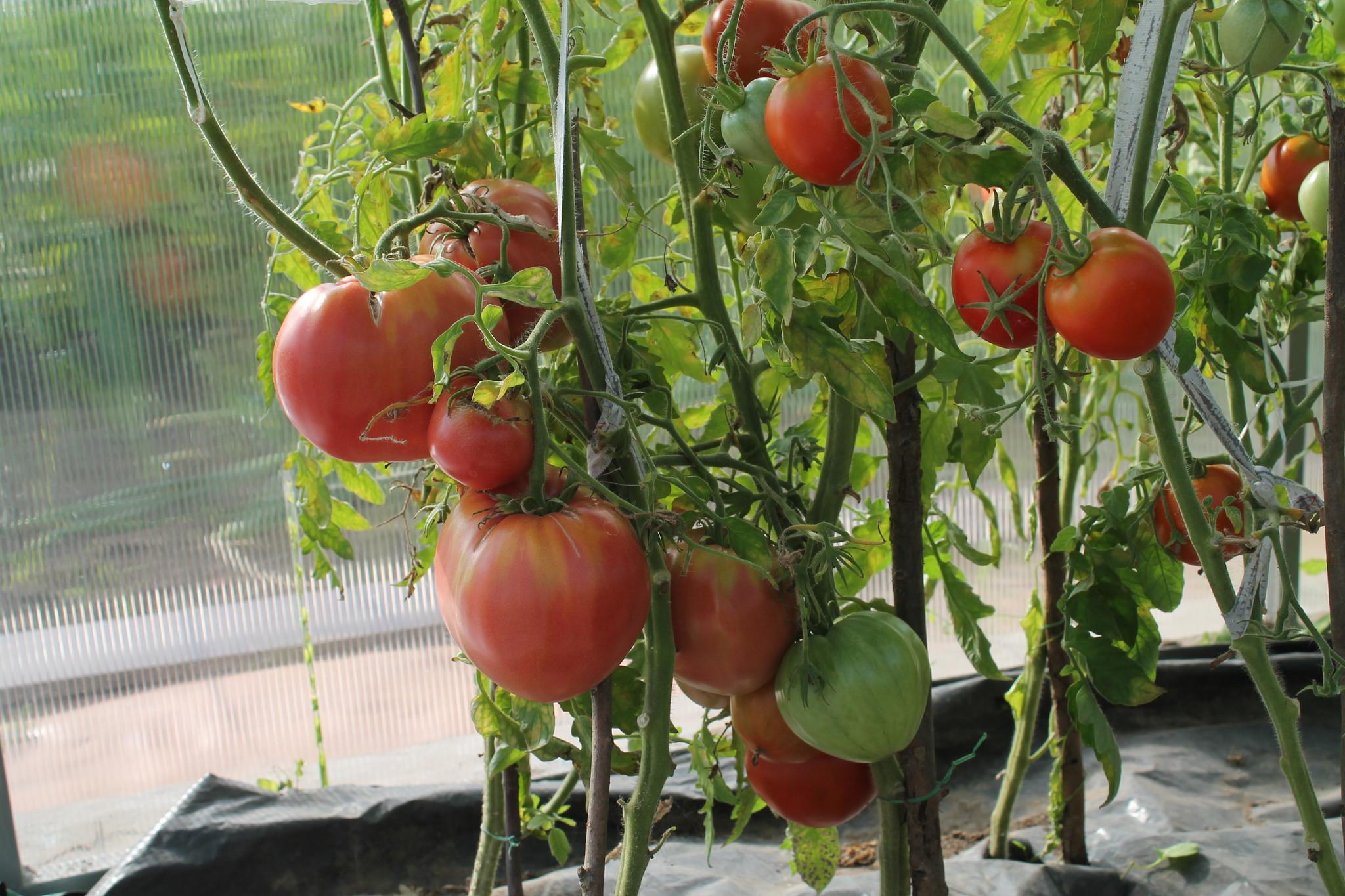 С чем не сажают помидоры 387