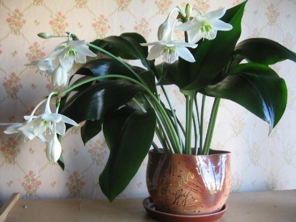 Комнатный цветок цветет белыми колокольчиками 3