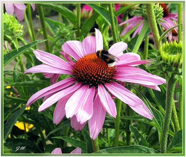 Панацея цветок