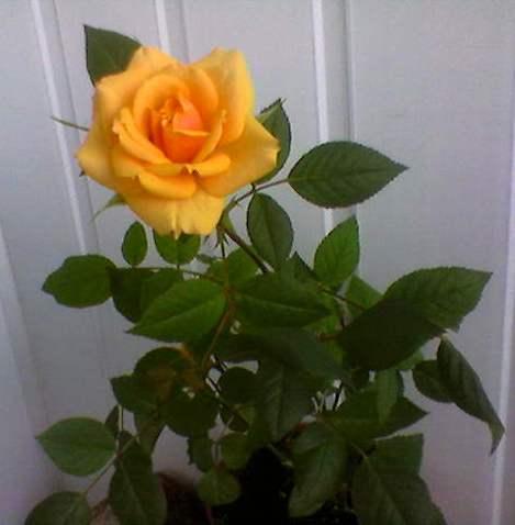 Как пересадить комнатную розу в домашних условиях