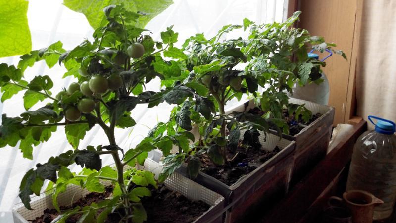 Выращивание арбузов в квартире 7