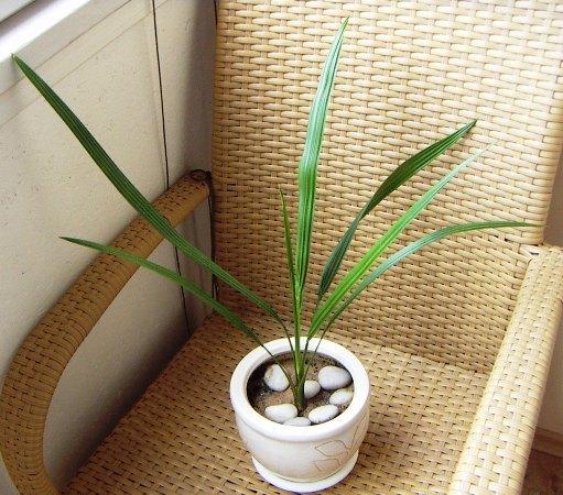 Когда пересадить финиковую пальму в домашних условиях
