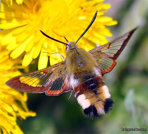 Почему бабочки без пыльцы не летают