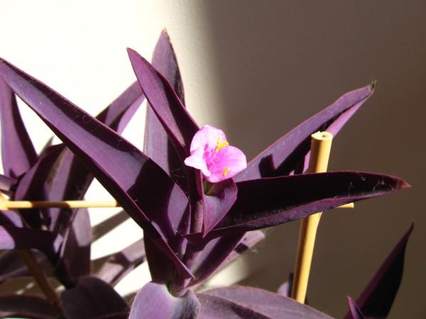Цветок с фиолетовыми листьями и цветками