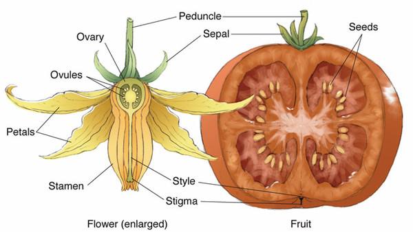 Ответы@Mail.Ru: Могут ли переопыляться между собой сортовые томаты, растущие на одной грядке? и передать изменения в семенах?