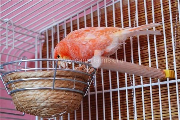 Гнездо канарейки