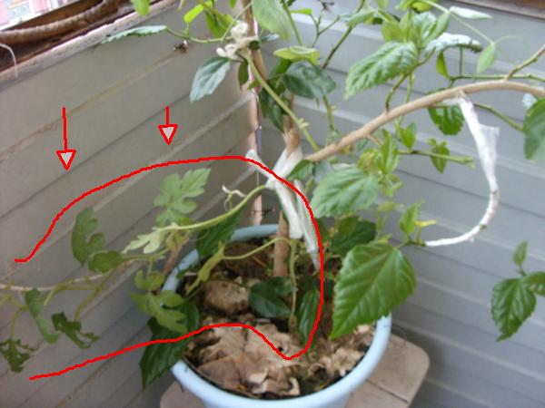 Как вырастить дыню в домашних условиях из семечки - Mmrr.ru