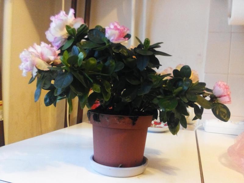 Уход за азалией, как добиться цветения в домашних условиях