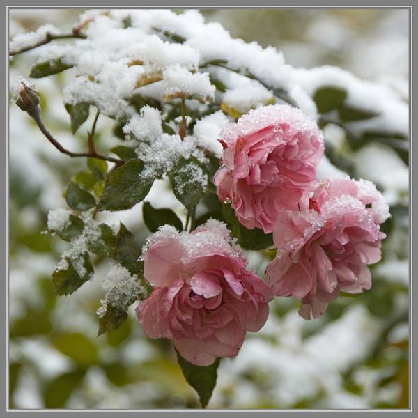 Красивые снег и цветы