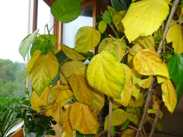 Гибискус уход желтеющие листья