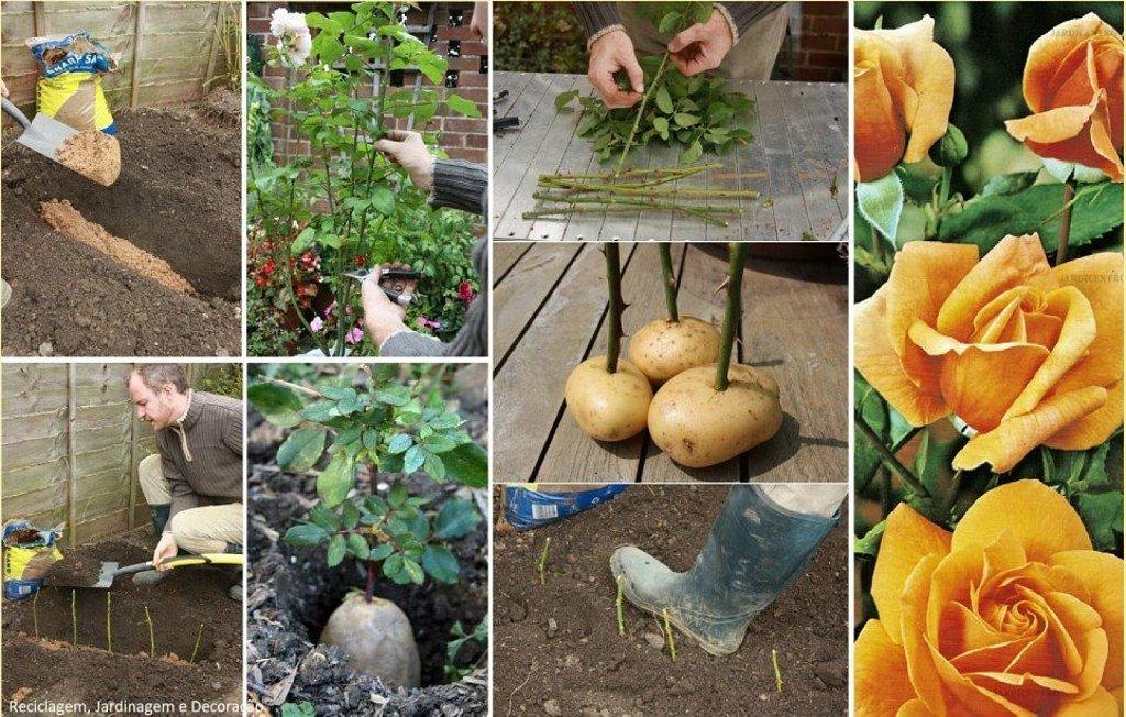 Как высаживать розы в домашних условиях