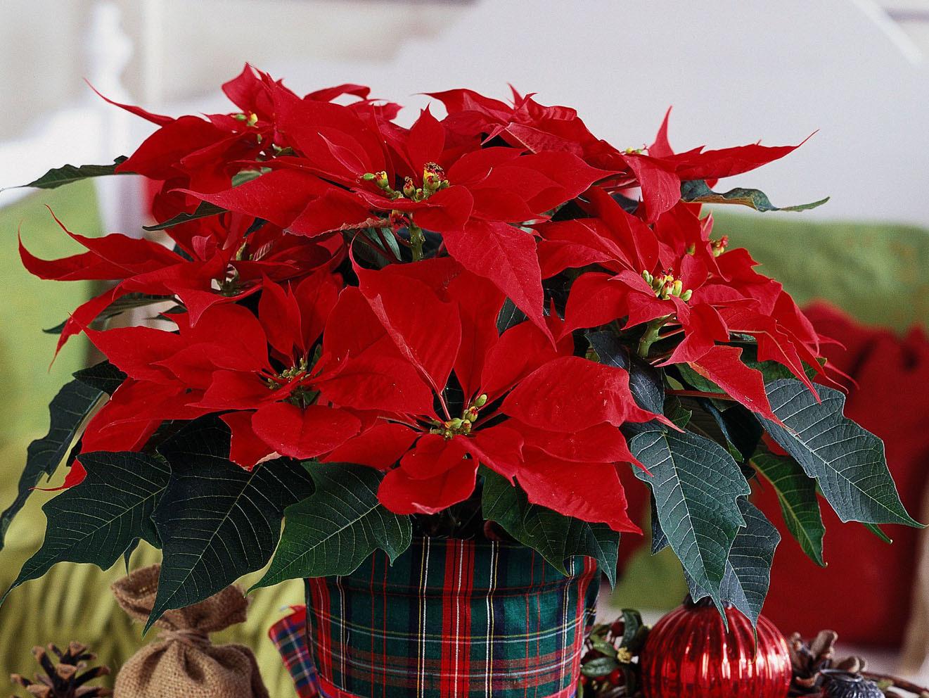 Цветок рождественская звезда размножение в домашних условиях фото
