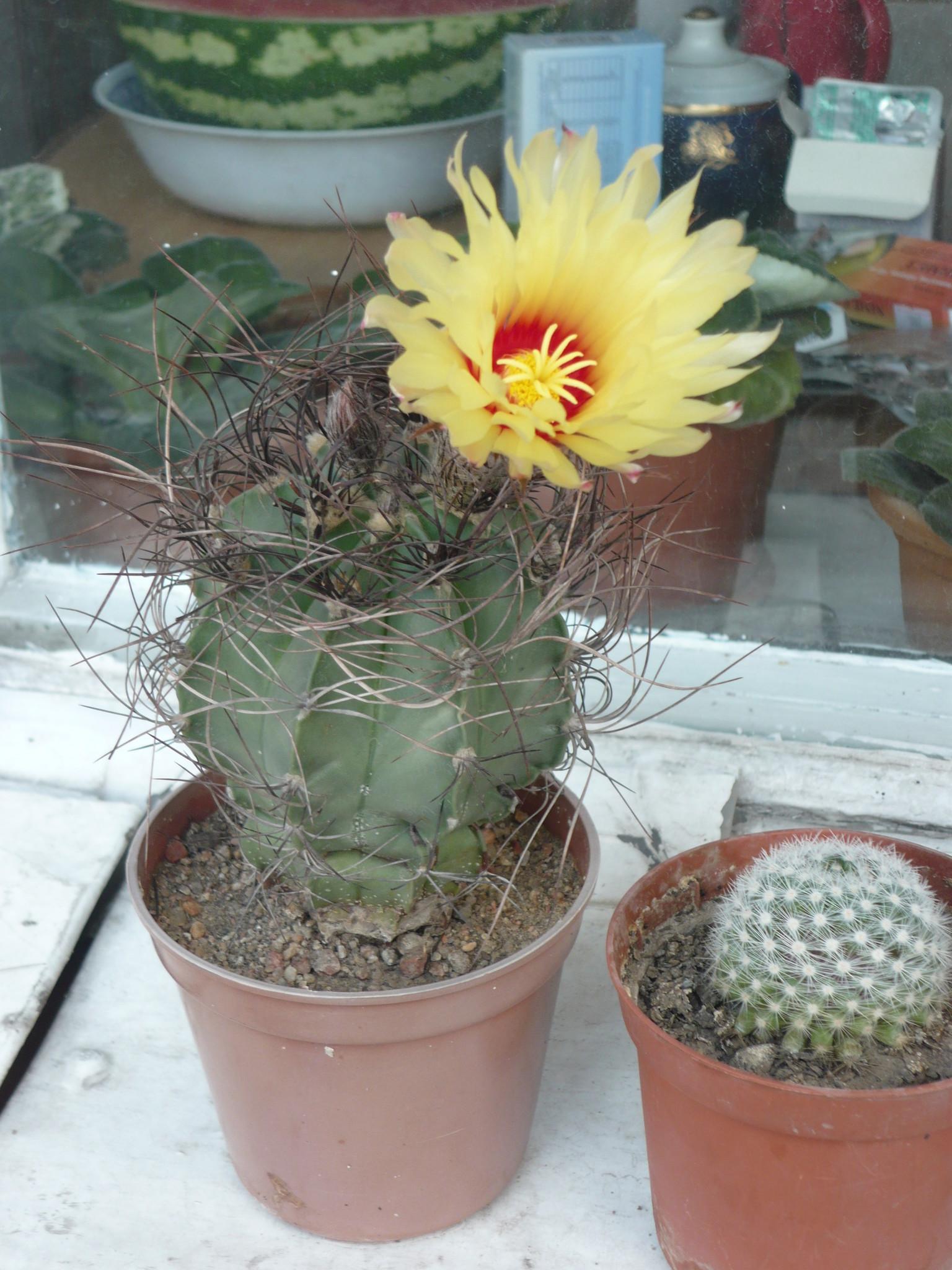 Цветение кактусов в домашних условиях: фото, как заставить 40
