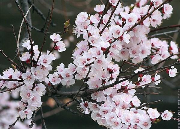 Яблони в цвету весны творенье