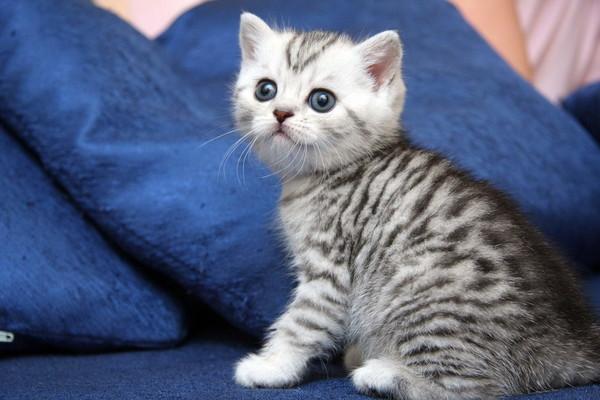 фото серые полосатые котята